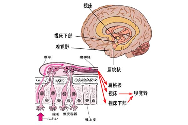 匂いだけは脳に直接届きます